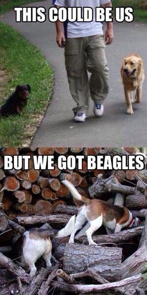 e17f32b670bf7c1f4776254086675090--beagle-funny-beagle-dog.jpg