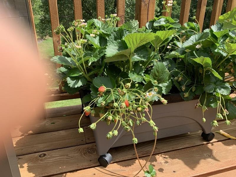 2021-06-06StrawberriesBP.jpg